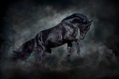 Black stallion in motion Royalty Free Stock Images