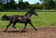 Black stallion on the move. Black Russian trotter on the road Royalty Free Stock Photography