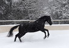 Black stallion in snow royalty free stock photography