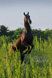 Black stallion rearing up stock photo