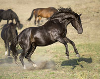 Black stallion rearing up, portrait in freedom Royalty Free Stock Photography