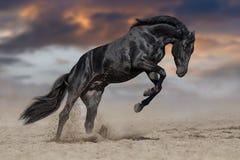 Black stallion run. Black stallion with long mane run gallop in sand against sunset dramatic sky stock photos