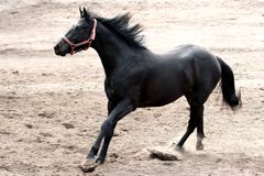 Black Stallion running Royalty Free Stock Images