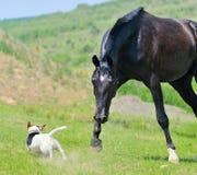 Black stallion running after jack russel terrier Stock Images