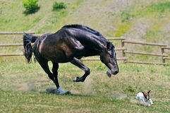 Black stallion running after jack russel terrier Stock Photos