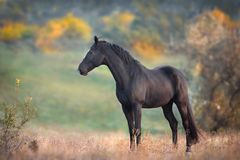 Black stallion standing. Black stallion in autumn landscape stock photo
