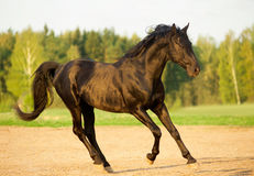 Black stallion in sunset Royalty Free Stock Images
