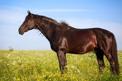 Black stallion Royalty Free Stock Photography