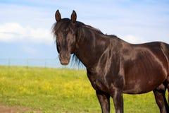Black stallion. Trakehner black stallion in field royalty free stock photos