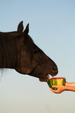 Black stallion with waterlemon. Black horse eats a watermelon Stock Images