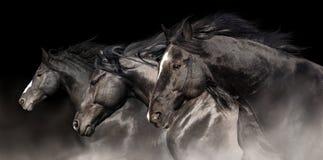 Black stallions run