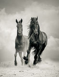 Black stallions Stock Photography