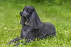 Black Standard Poodle Royalty Free Stock Image