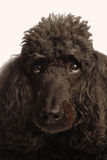 Black standard poodle Royalty Free Stock Photo