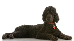 Black standard poodle Royalty Free Stock Photos