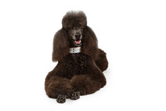 Black Standard Poodle dog laying down Royalty Free Stock Photo