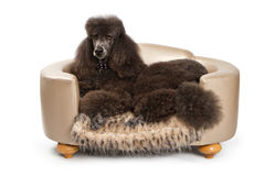 Black Standard Poodle dog on Luxury Bed Royalty Free Stock Photography