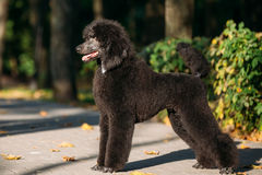 Black Standard Poodle Dog Outdoor Stock Images