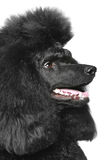 Black Standard poodle portrait (side view) Stock Image