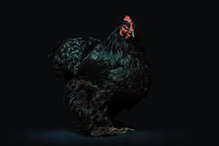 Black Standing Hen Photo Stock Images