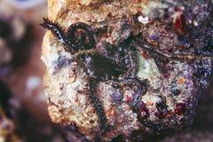 Black starfish closeup Royalty Free Stock Photo