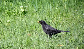 Black starling bird. On grass Royalty Free Stock Photo