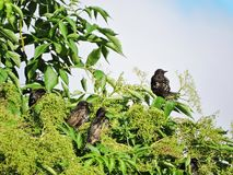Black starling birds rest on tree branch, Lithuania Royalty Free Stock Photography