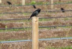 Black Starling Royalty Free Stock Image
