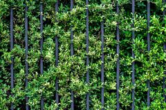 Free Black Steel Iron Fence Of Boundary House With Green Leaf Of Shrub Tree Growing Wall Natural Stock Photography - 172424982