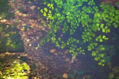 Black stem fern Stock Photo