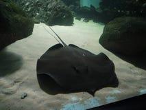 Black Stingray on sand bed in aquarium.  stock photo
