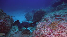 Black stingray swims over deep, rocky reef. stock video footage