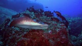 Black stingray swims over deep, rocky reef. stock video