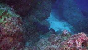 Black stingray swims over deep, rocky reef. stock footage