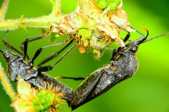 Black Stink Bugs Royalty Free Stock Images