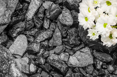 Black stone coal daisies background Stock Photo