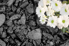 Black stone coal daisies flower Stock Photos