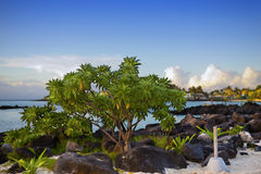 Black stones and tree near the sea. Mauritius Royalty Free Stock Images
