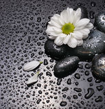 Black stones and white camomile Royalty Free Stock Photography