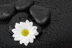 Black stones and white flower. With water drops Stock Images