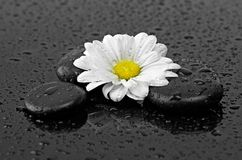 Black stones and white flower with water drops Stock Photo