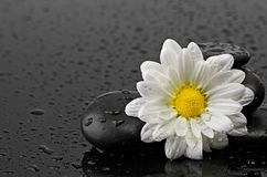 Black stones and white flower with water drops Royalty Free Stock Photography