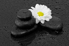 Black stones and white flower with water drops Royalty Free Stock Images