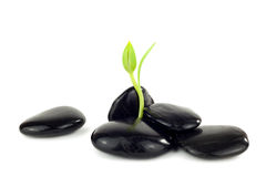 Black stones with young little plant. In front of white background Stock Photography