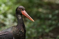 Black Stork Stock Image