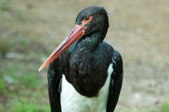 Black stork. Portrait of a black stork (Ciconia nigra Stock Photography