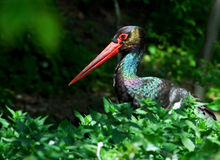 Black stork. Nikon d200, nikkor 4/300 Royalty Free Stock Photos