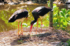 Black Stork Royalty Free Stock Photography