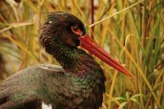 Black stork Royalty Free Stock Photos