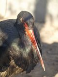 Black stork Stock Images